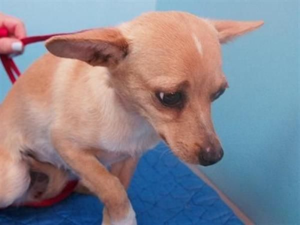 Chihuahua Mixed Breed Dog For Adoption In Portland Dog Adoption Rescue Dogs For Adoption Chihuahua Rescue