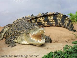 Saltwater Crocodile Dangerous Animal