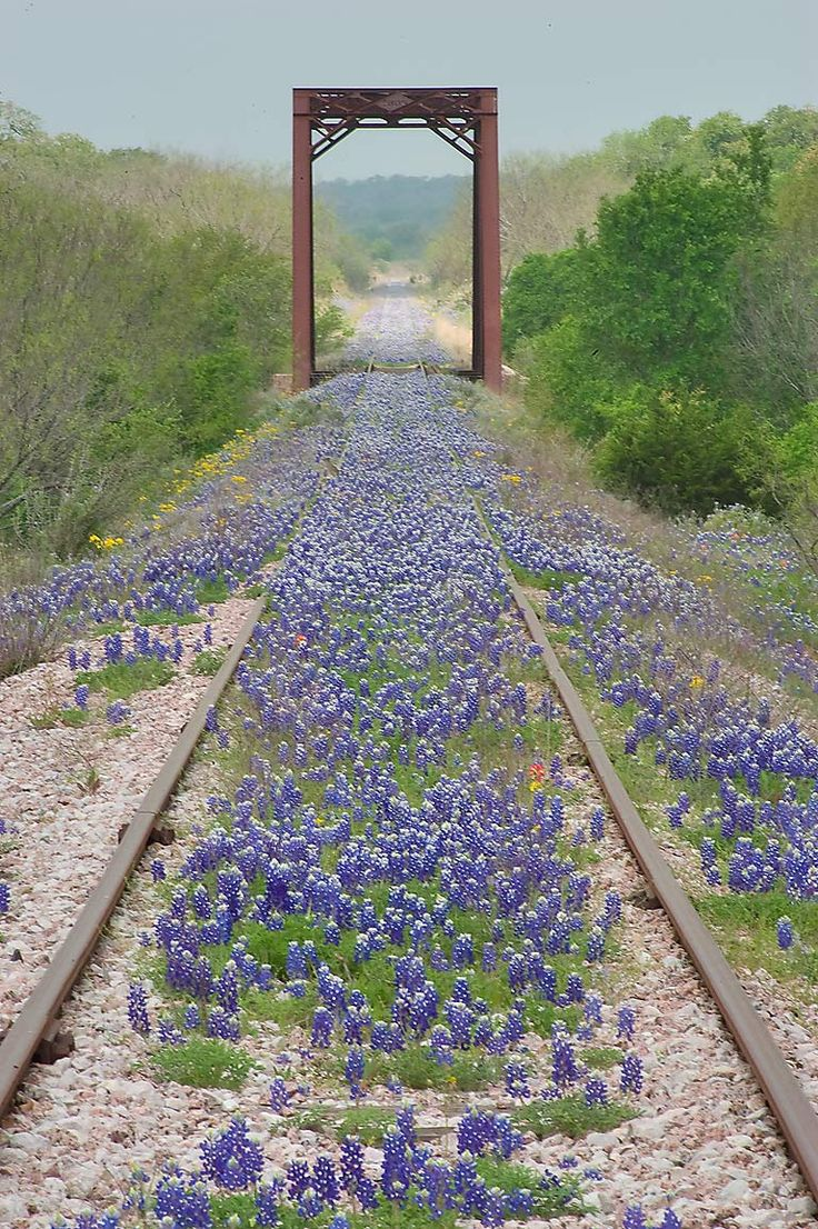 Railroad bridge in bluebonnets in Long Ranch, east from Llano. Texas