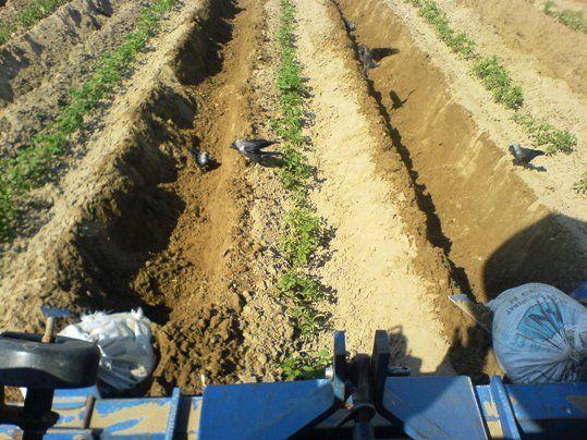 domatese karık açarken karga ve martılar topraktan çıkan solucanları kapışıyor