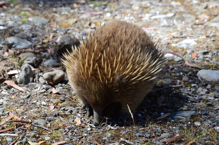 Echidna, Lake St Clair, Tasmania 2/2014