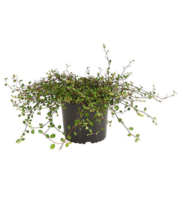Kiwiknoterich Muhlenbeckia Dehner Knoterich Bepflanzung Pflanzen