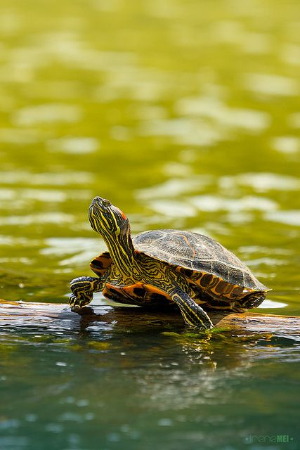 Red-eared slider - I used to have 4 of these in my classroom back in VA . . .