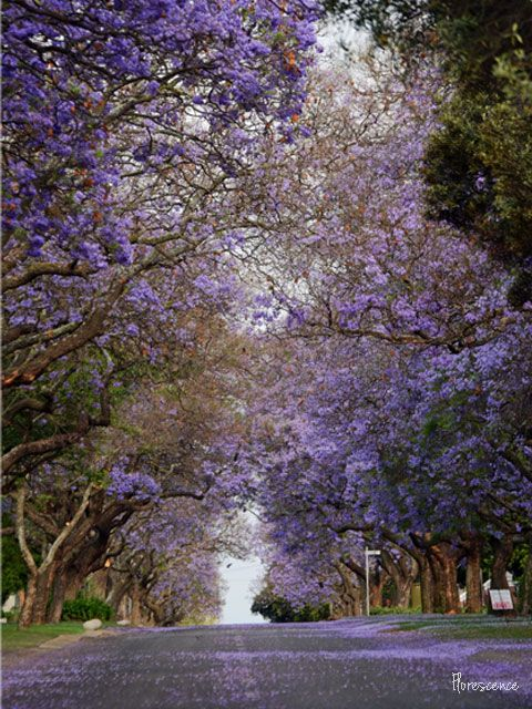 Jacarandas in bloom.  Olivier Street, Brooklyn, Pretoria, (c) Florescence