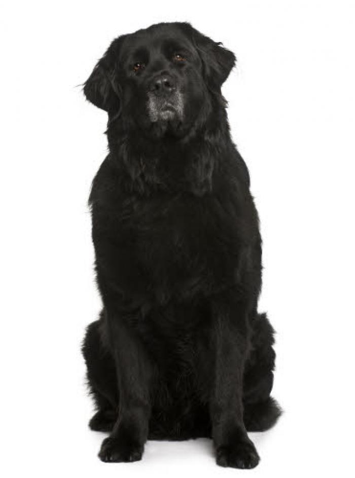 Ce chien qui, à l'âge adulte, a la taille d'un bébé éléphant, est une vraie crème. Tous les experts sont unanimes, ce sont des chiens courageux et aimants. Le chien baby-sitter dans Peter Pan, Nana, est un Newfoundland. Ils sont très grands donc ils ont besoin d'un grand jardin et de beaucoup d'exercice physique. Ce sont, entre autre, des chiens nageurs. Ils sauvent des vies au Canada ou les agents côtiers les …