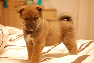 Shikoku puppy Japanese dogs, Dogs, Puppies
