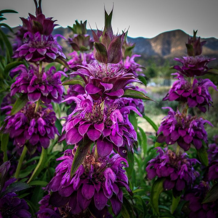This plant is the most prolific flower we‰۪ve grown on our farm, period. Lemon Bee Balm (Monarda citriodora) has a more rapid growth rate than its Bergamot Lavender relative; a few spring plants of th