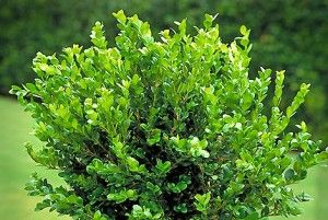 Winter Gem Boxwood Excellent evergreen shrub for small hedges. Among the hardiest of Boxwoods, the rich green foliage acquires a golden bronze hue through winter, returning to green in spring.