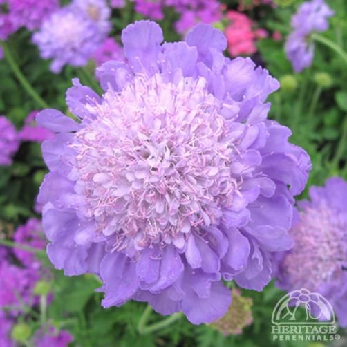 Scabiosa columbaria 'Mariposa Blue' ; flowers over 4 months. Open, alkaline soil. Peak June - Sep. Source of nectar and larval plant food.
