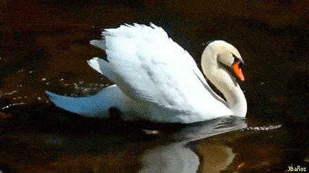 Cygnus olor:  El cisne vulgar (Cygnus olor), también llamado cisne mudo o cisne blanco, es una especie de ave anseriforme de la familia Anatidae propia del Hemisferio Norte.
