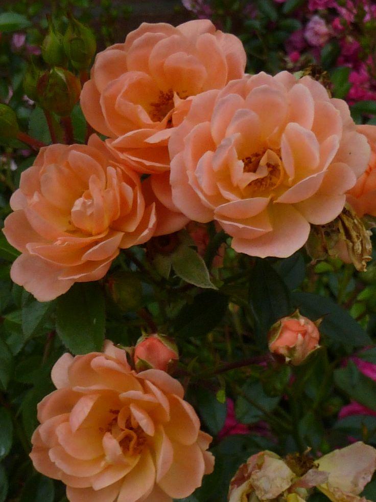 Suntan www.rozenrijk.nl
