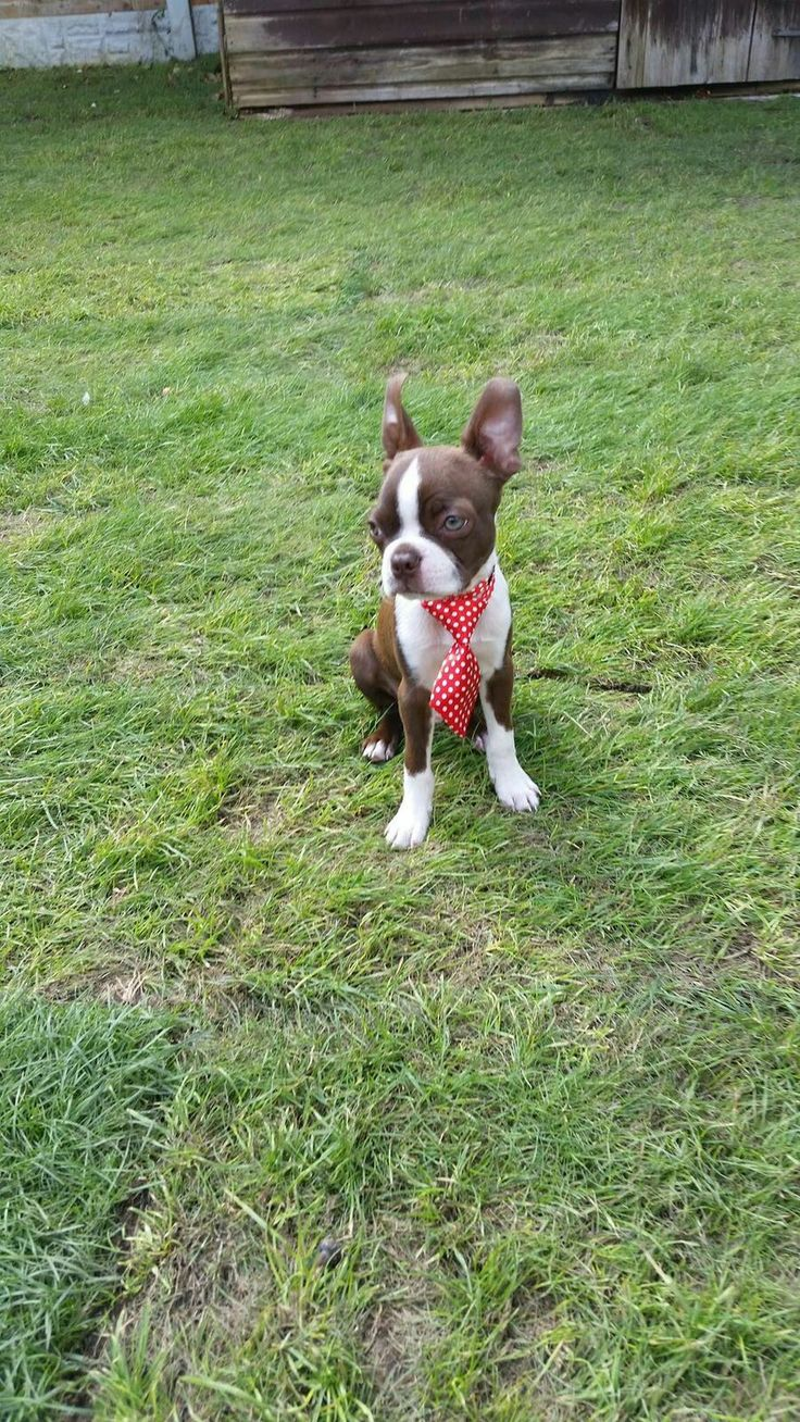 Pablo The Red Boston Terrier Puppy. Dress up time, red tie event...