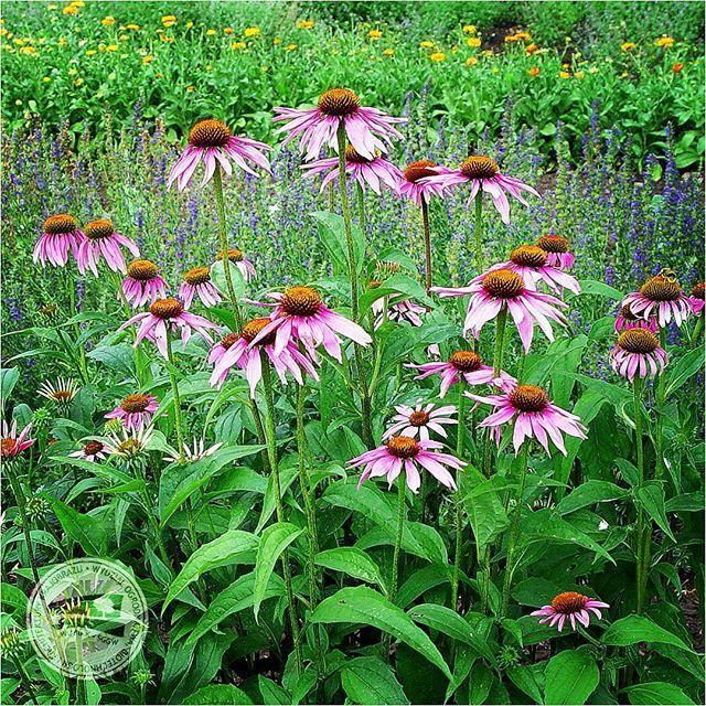#jeżówka purpurowa #jeżówkapurpurowa #ziele #korzeń #kwasyfenolowe #poliacetyleny #polisacharydy #bylina #kwiaty #różowekwiaty #ogród #ogródkwiatowy #WOBiAK #SGGW  #Echinaceapurpurea #Echinacea #purpleconeflower #herbs #roots #fenolicacids #polyacetylene #polysaccharides #perennial #flowers #pinkflowers #pink #garden #flowergarden #horticulture #WULS