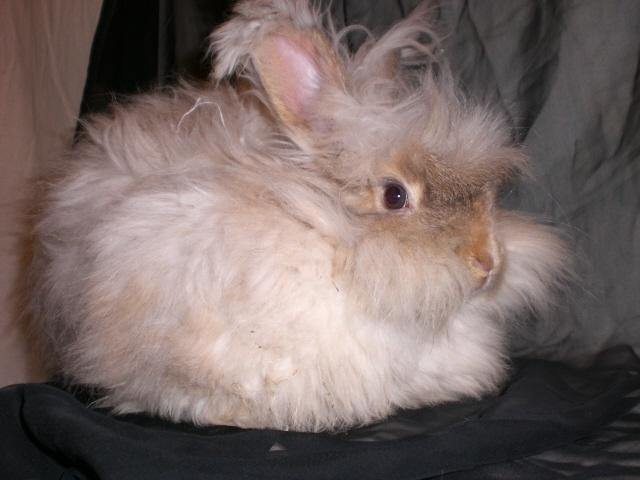english angora rabbits - photo #36