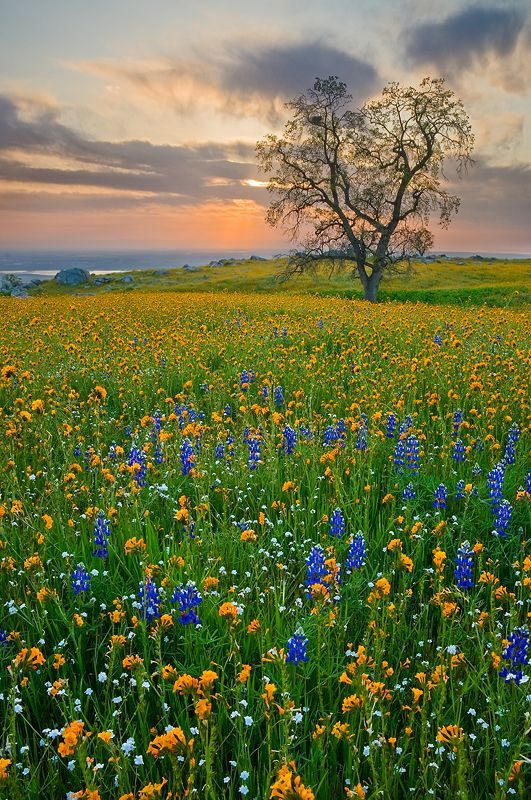 A carpet of lupine, fiddleneck and popcorn wildflowers and a single oak tree along the western flank of Bear Mountain overlooking Central Valley and Bakersfield, California at sunset