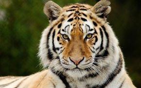 tiger, snout, view, Strips, predator