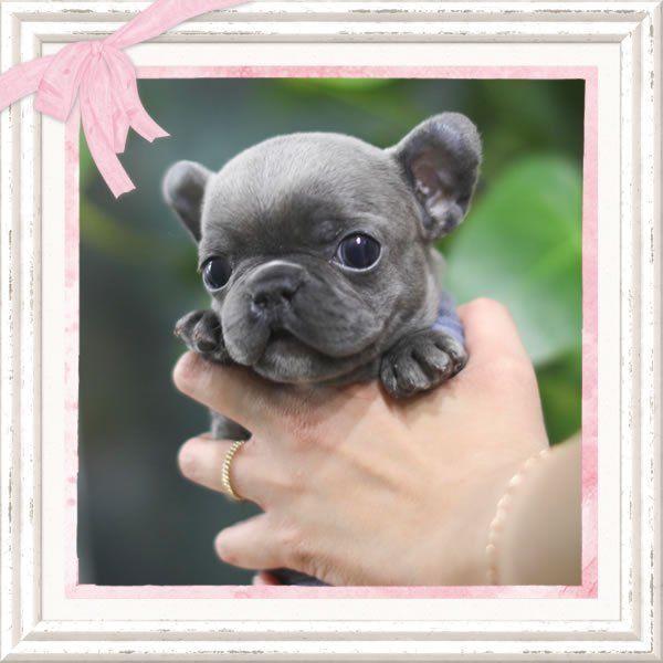 Mini French Bulldog Teacupbulldog Mini French Bulldogs Blue French Bulldog Puppies Bulldog Puppies