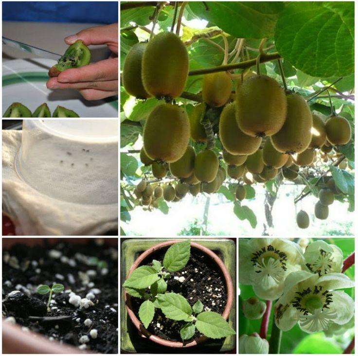 Wie man einen Kiwi Pflanze aus Samen zu ziehen