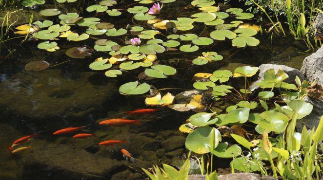 60 besten pflanzen garten bilder auf pinterest for Fische gartenteich arten
