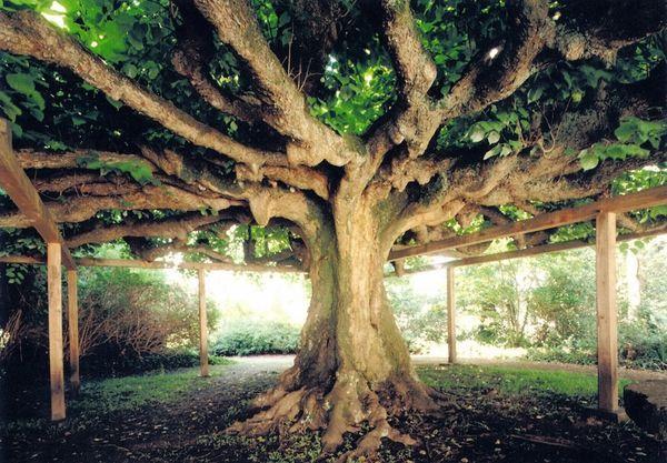 I 12 alberi più antichi del mondo