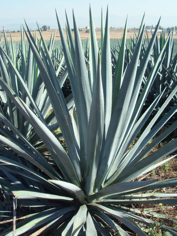 Agave tequilana (Blue Agave, Tequila Agave) → Plant characteristics and more photos at: http://www.worldofsucculents.com/?p=8107