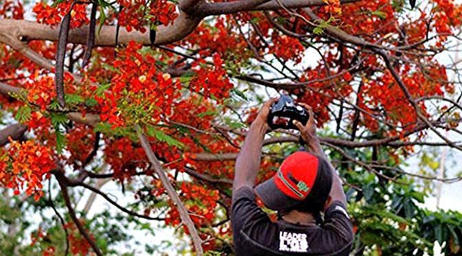 Terbaru 26 Gambar Lukisan Bunga Flamboyan Indahnya Bunga Sepe Sambut Pagi Di Bulan Desember Regional Bunga Dekorasi Murah Dengan Harga Flowers Surabaya Rum