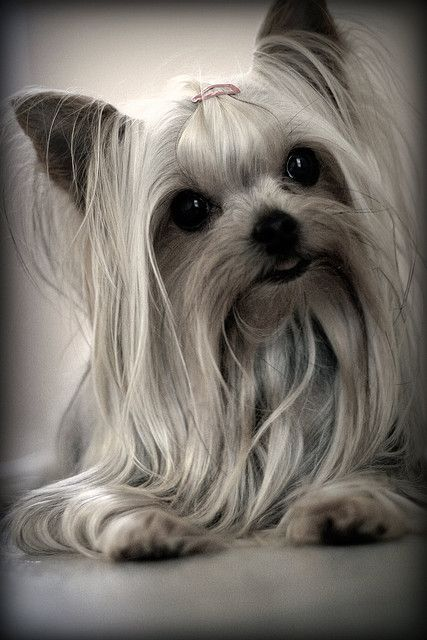Yorkie...this is how I want my Lacey's hair to look....so cute!,