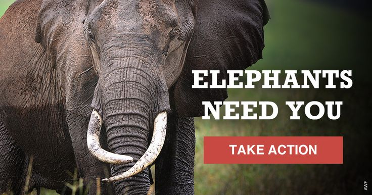 """Japan's largest e-commerce retailer, Rakuten, still sells ivory claiming theirs is """"safe and legal."""" But up to 30K elephants are poached each year because wildlife criminals are expert at hiding behind """"legal"""" sales to turn a profit. Tell Rakuten to ban ivory! Add your name."""