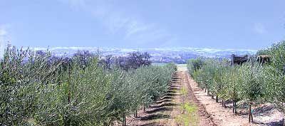 Coratina olive tree