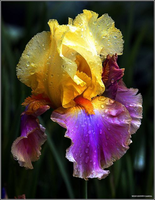 Bearded Irises, need sun in order to bloom, bloom for about a month, different species can bloom at different times, tuber -- very easy to grow and split, can plant in the summer