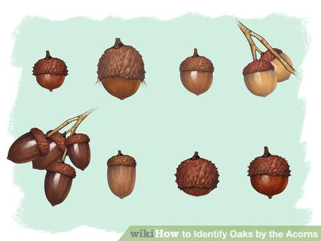 Image titled Identify Oaks by the Acorns Step 6