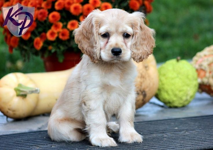Star – Cocker Spaniel Puppies for Sale in PA | Keystone Puppies