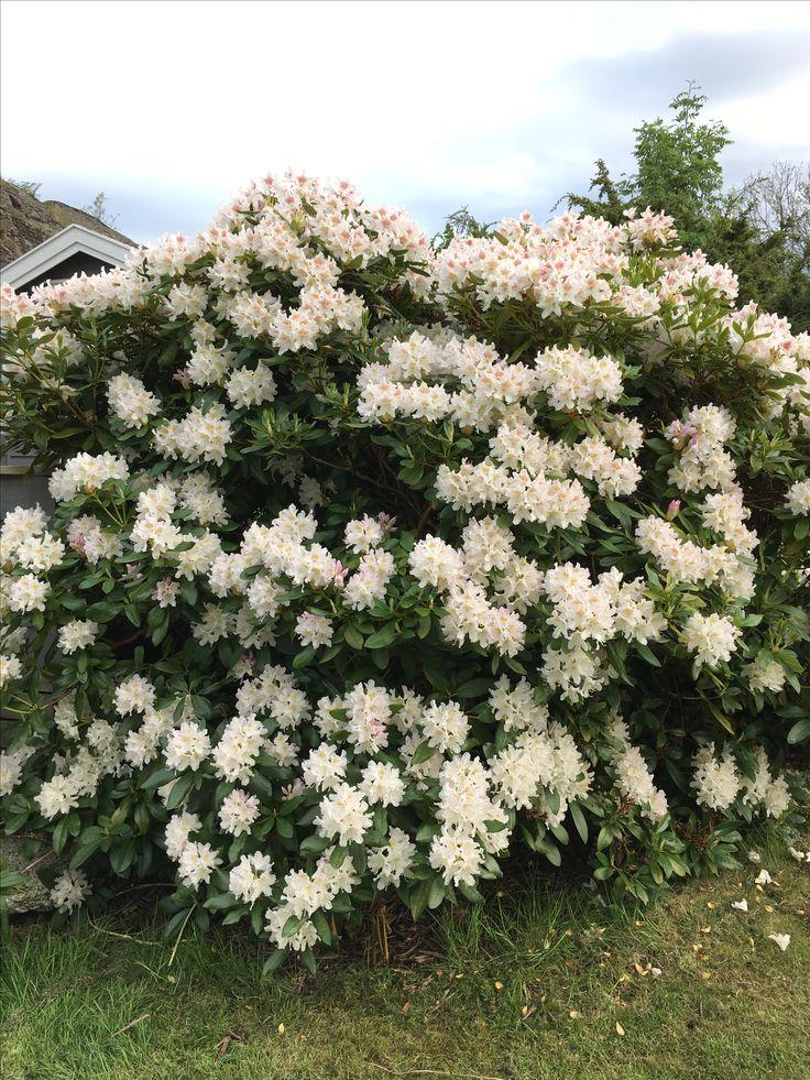 Rhododendron som blomstrer tidlig, kommer før 17 mai, kommer med nye babyplanter og vokser10-20 cm hvert år