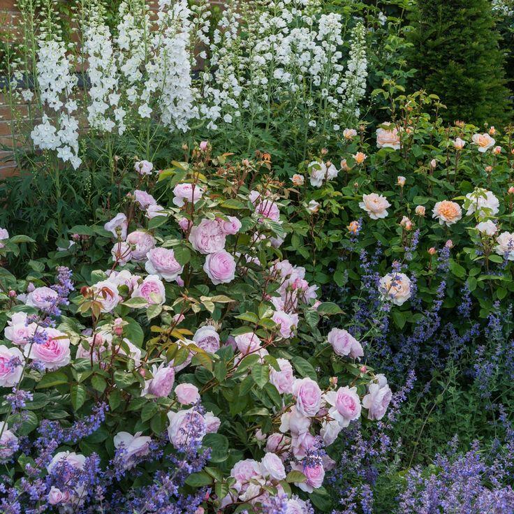 время фото цветников с розами остина будут выглядеть