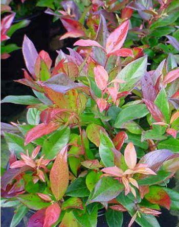 Leucothoe fontanesiana Scarletta - 2 X 3 m   Floraison : (fructification) Avril à Mai   Arbuste très ornemental au jeune feuillage rouge-violet foncé, vert foncé puis bronze en hiver. Grappes de fleurs blanches, roses en boutons, odorantes au printemps. Exposition à mi-ombre ou à l'ombre. Sol ordinaire, humifère, acide (non calcaire), frais. Rustique, au moins jusqu'à -15°C. Feuillage persistant. Port Buissonnant. Intérêt printanier, hivernal.