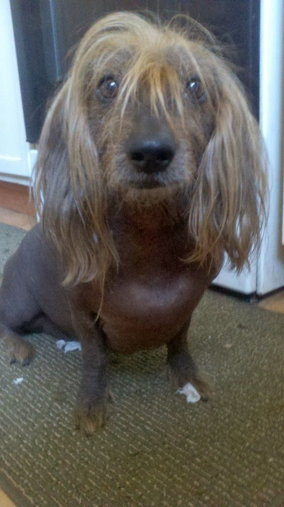 Isaboo a Chinese Crested Terrier mix and ugliest dog in the world contestant