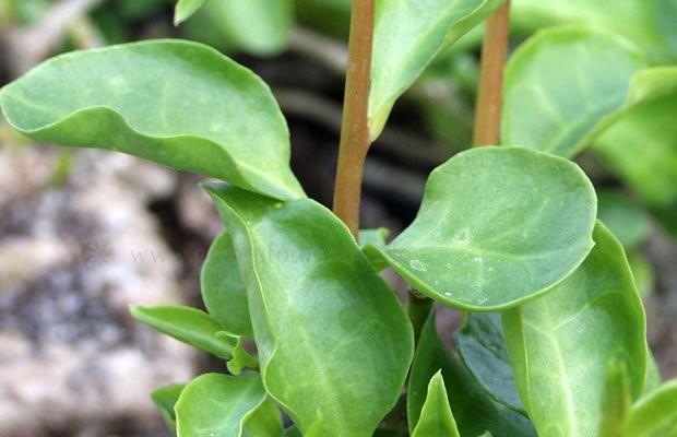 Bild von Anredera cordifolia – Madeirawein, Anredera, Peru-Portulak, Basellkartoffel