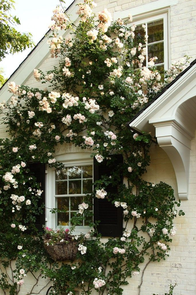 Beautiful Cecile Bruner roses climbing up this country home's facade.