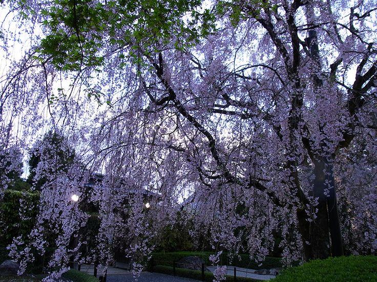 妙心寺退蔵院の枝垂れ桜