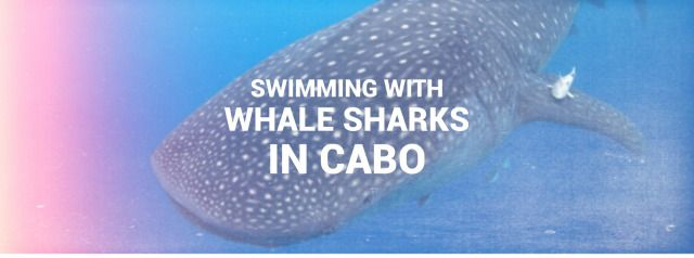 Why swimming with whale sharks needs to be on your bucket list. I share my amazing experience with these gentle giants! #whalesharks #bucketlist #adventure #travel #thingstodoinmexico #thingstodoincabo #explore #travelideas #traveladventure