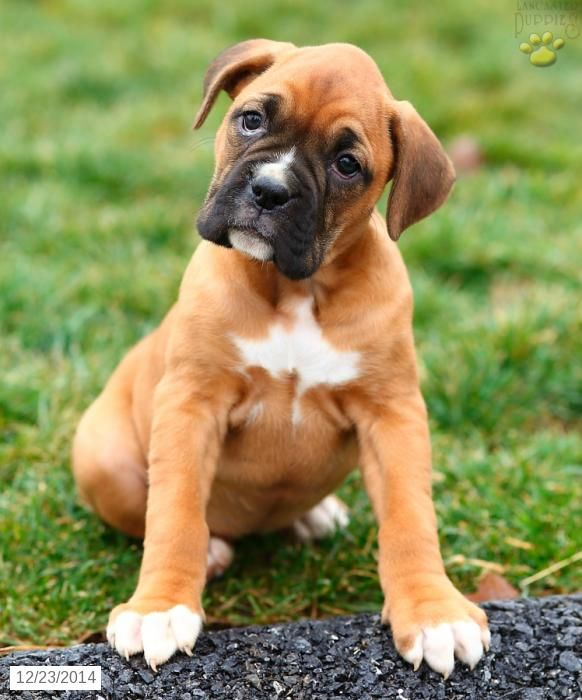 Boxer Puppy for Sale in Pennsylvania Boxer puppies