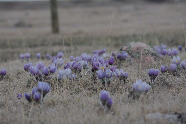 Crocuses - our sign of spring on the prairies