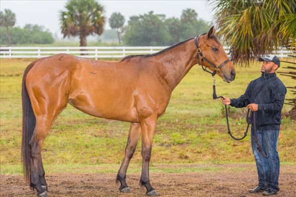 Wonderfully Wild OTTB for Adoption For Sale | Buy this Horse at Equine.com