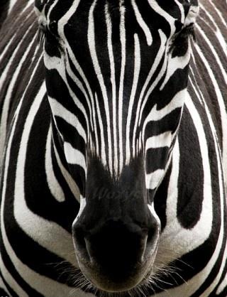 Zebra closeup. I might be crazy, but I think I need to make a zebra mask now. XD