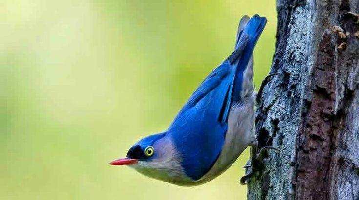 Download Suara Burung Rambatan Gacor Untuk Masteran Dan Pikat Burung Jalak Pohon
