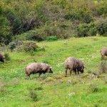 ¿Cuál es el origen y las características del cerdo ibérico?