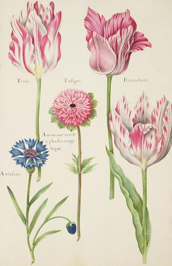 Three 'Broken' Tulips, Cornflower and Anemon. Robert, Nicolas (1614-85) #botanical #illustration