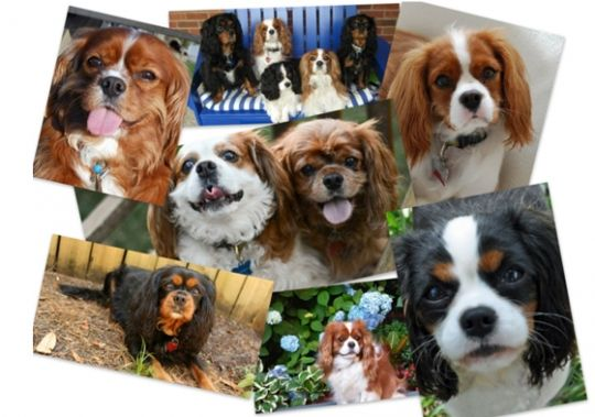 Chico's Fundraiser, Shop at the Danville Chico's store on June 6 from 1-6 p.m. to benefit Cavalier Rescue USA. Phone orders accepted too! Call (925) 552-6427 to place your order during those hours.