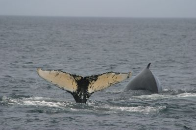 Bar Harbor, Maine | ... Harbor Whale Watching Tours - Whale Watch Trips in Bar Harbor Maine