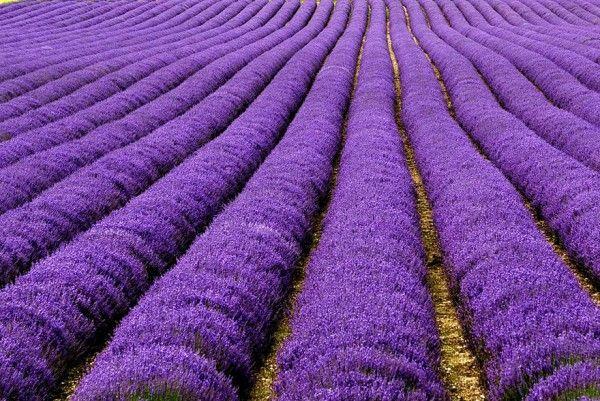 Campos de lavanda, Reino Unido e França